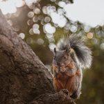 Orava syö käpyä