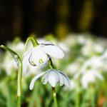 keväinen kuva lumikelloista
